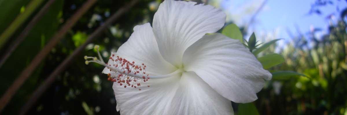 hibiscus_blanc