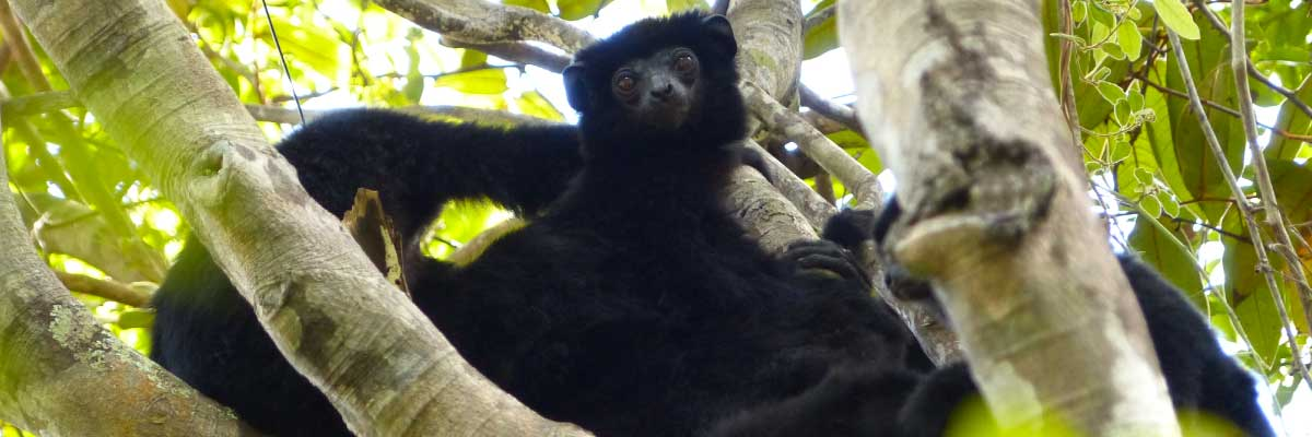 lemur_noir