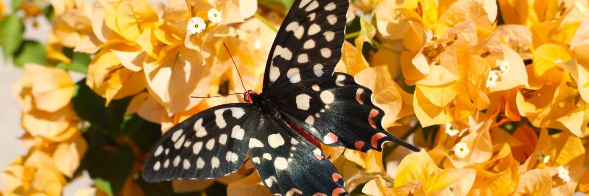 papillon_fleurs
